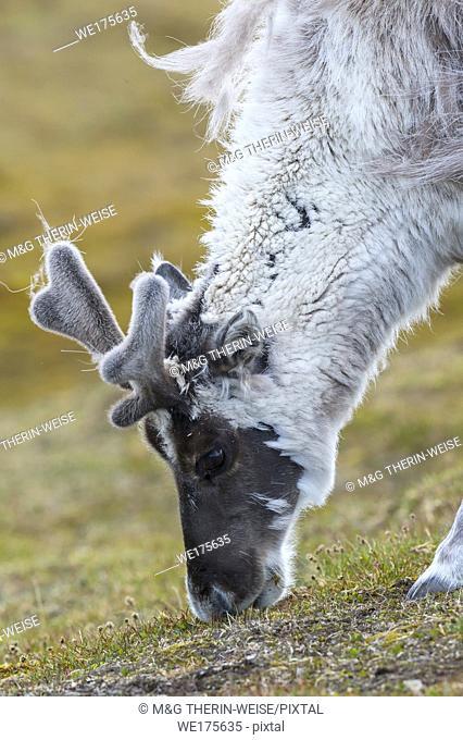 Svalbard Reindeer (Rangifer tarandus platyrhynchus) in the toundra, Spitsbergen Island, Svalbard archipelago, Norway