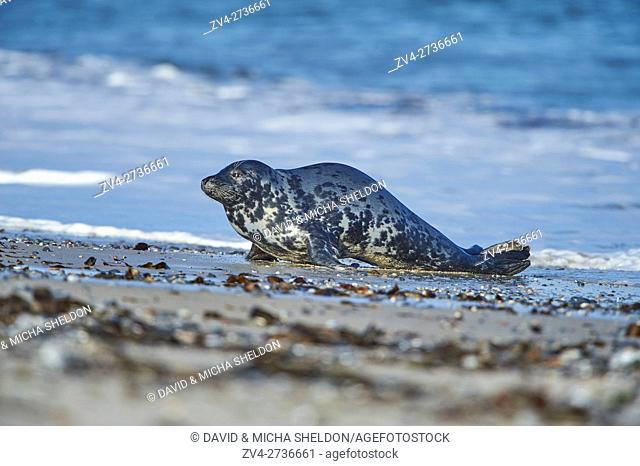 Close-up of harbor or harbour seal (Phoca vituliana vitulina) in spring (april) on Helgoland a small Island of northern Germany