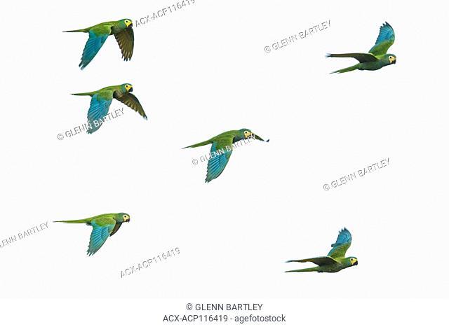 flying in the grasslands of Guyana