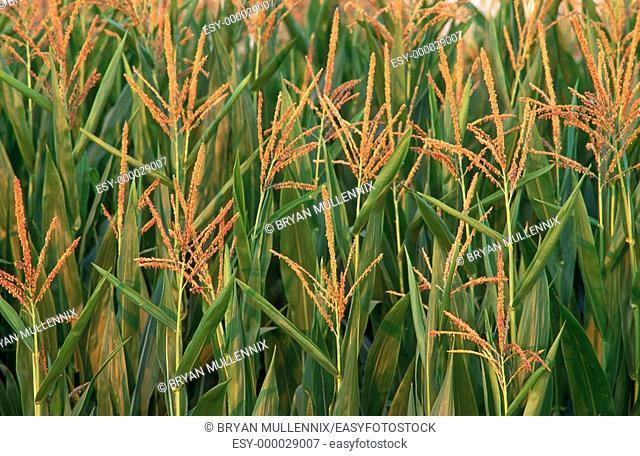 Corn fields. Willamette Valley. Oregon. USA