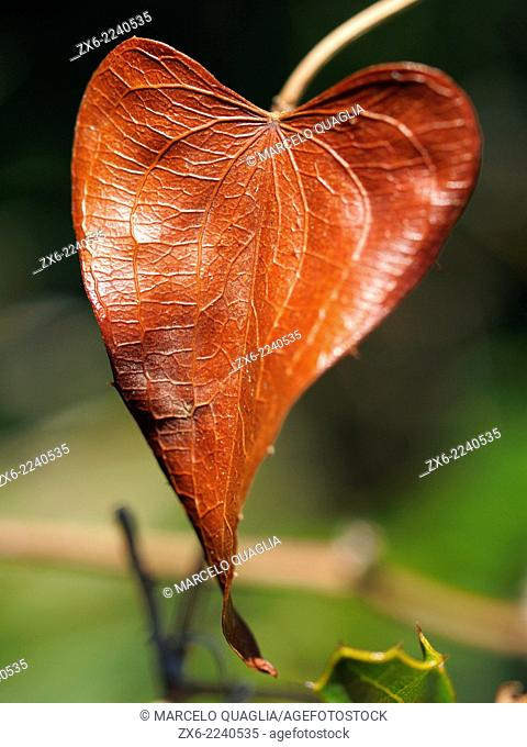 Dry heart shaped leaf of sarsaparilla (Smilax aspera) at Montsia Hills. Ebro River Delta Natural Park, Tarragona province, Catalonia, Spain