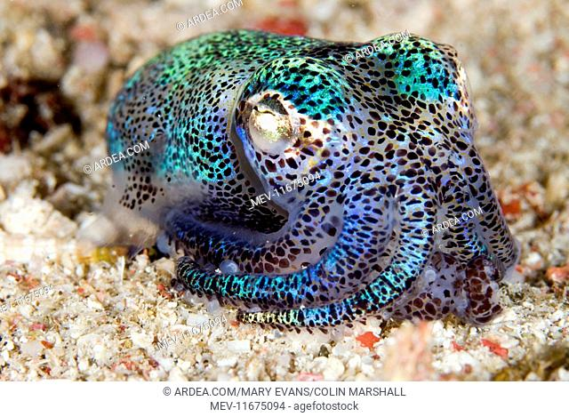 Berry's Bobtail Squid on sand