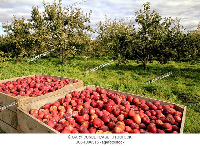 harvested apples in bins in the annapolis valley of nova scotia canada