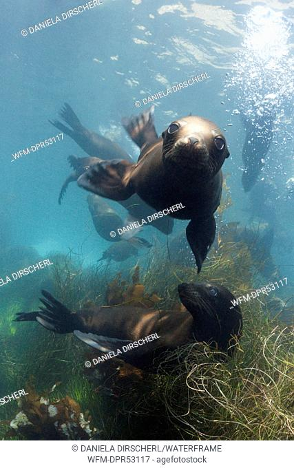 California Sea Lion, Zalophus californianus, Cedros Island, Mexico