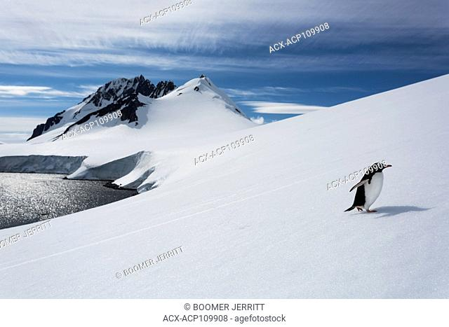 A lone Gentoo Penguin makes his way up a large snowslope on Damoy Point, Antarctic Peninsula, Gentoo Penguin