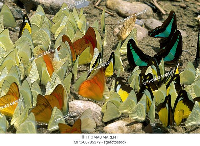 Pierid Butterfly (Pieridae) group, composed of different species, sip minerals and salts from sand along riverbank, Gunung Leuser National Park, Sumatra