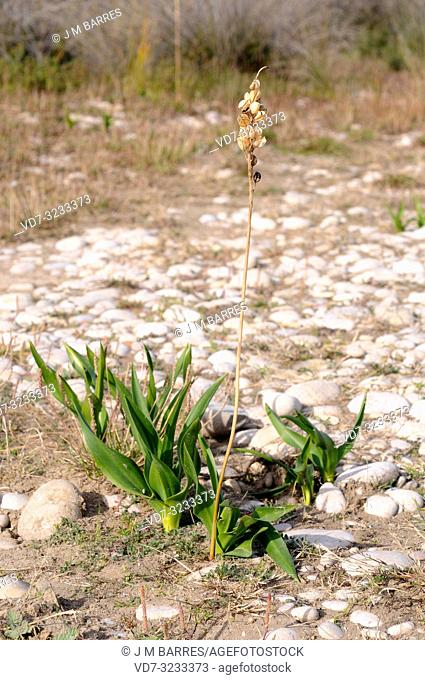Sea squill (Drimia maritima or Urginea maritima) is a perennial herb native to Mediterranean Basin coasts. It is poisonous and medicinal used since antiquity