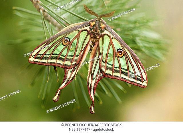 Spanish moon moth, (Graellsia isabellae), male, Valais canton, Switzerland