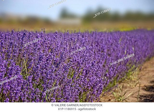 This landscape photo is stunning with a bright, big purple row of lavender herbs growing on a lavender farm Background is intentionally blurred for artistic...