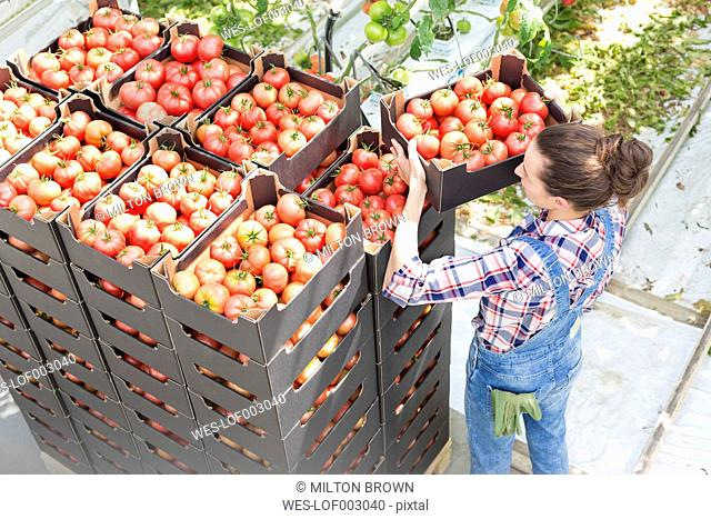 Woman stacking boxes with tomatoes in greenhouse