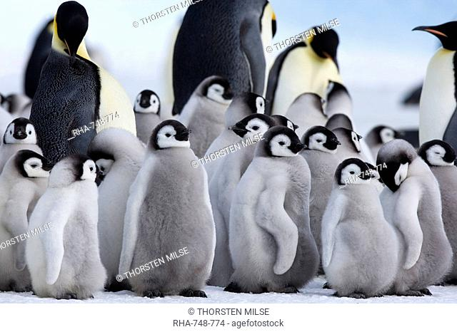 Colony of Emperor penguins Aptenodytes forsteri and chicks, Snow Hill Island, Weddell Sea, Antarctica, Polar Regions