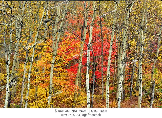 Red maple in the understory of an aspen woodland in autumn. Greater Sudbury, Ontario, Canada