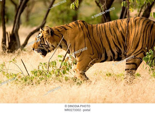 Tiger Panthera tigris , Ranthambore tiger reserve , Rajasthan , India