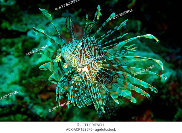 Close-up of Red Lionfish, Pterois Volitans in a coral reef off Sombrero Island, Anilao, Philippines