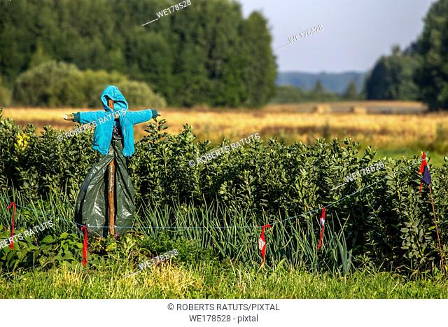 Scarecrow in vegetable garden on summer time, Latvia. Scarecrow is an object made to resemble a human figure, set up to scare birds away from a field where...
