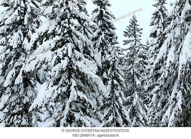 Winter forest at Waldo Lake sno-park, Willamette National Forest, Oregon