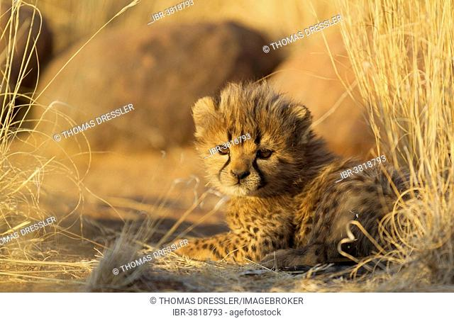 Cheetah (Acinonyx jubatus), resting male cub, 41 days, in evening light, captive, Namibia