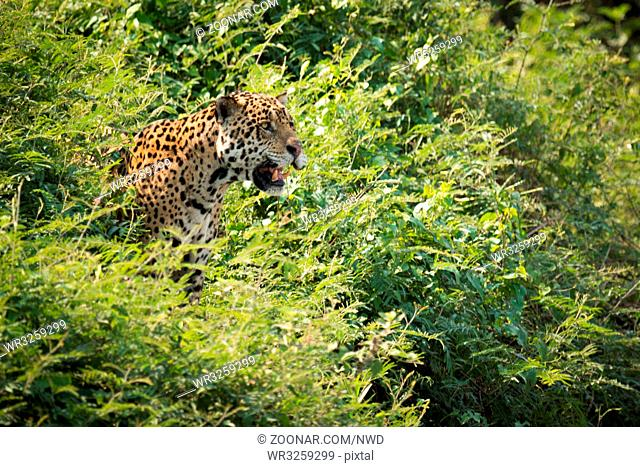 Jaguar staring out from bushes in sunshine