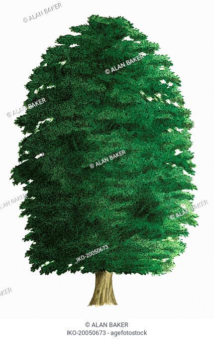Single tree on white background, Common beech (Fagus sylvatica)