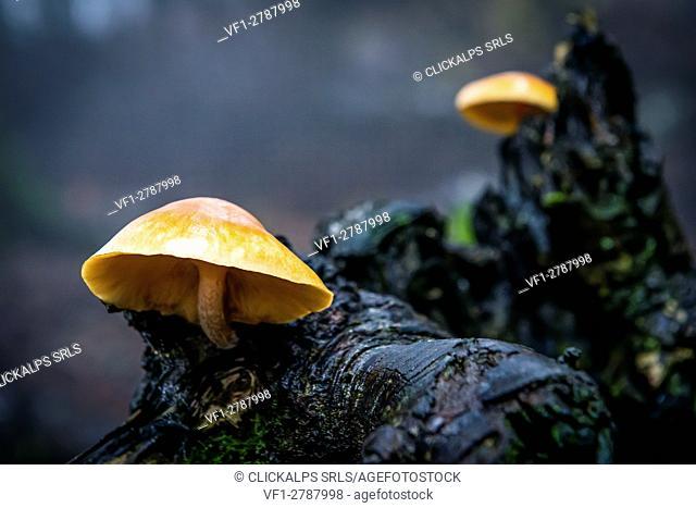 Sassofratino Reserve, Foreste Casentinesi National Park, Badia Prataglia, Tuscany, Italy, Europe. Mushrooms on wet branch