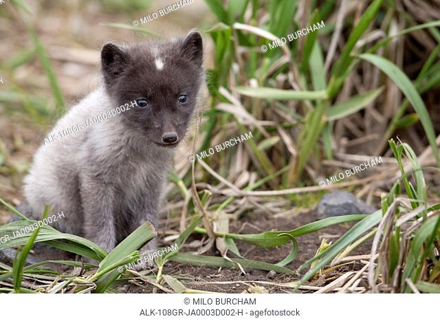 Close up of an Arctic Fox pup peering through grass, Saint Paul Island, Pribilof Islands, Bering Sea, Alaska, Southwestern, Summer