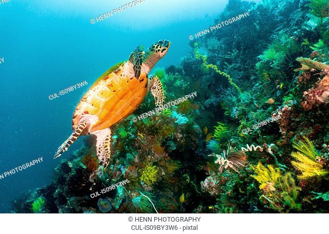 Sea turtle ascending along a coral reef close to Komodo Island, Nusa Tenggara Timur, Indonesia