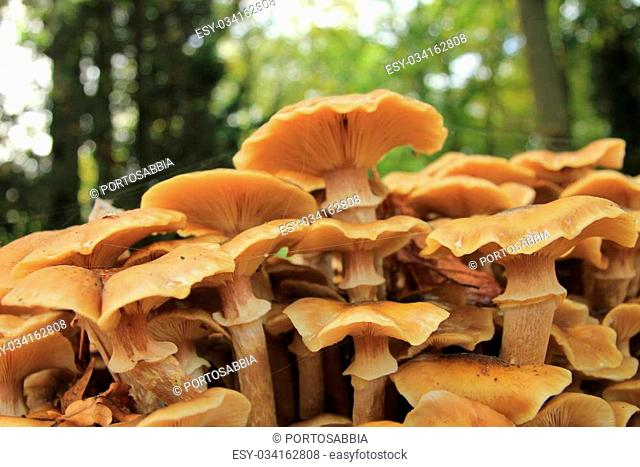 Big mushrooms in a fall forest