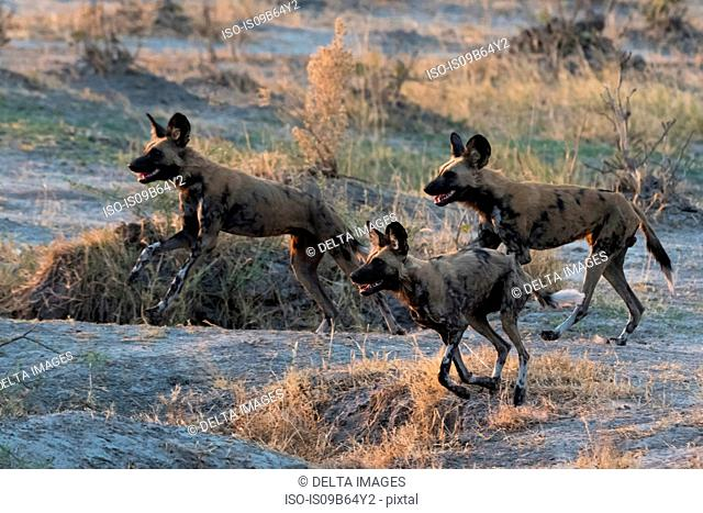 Group of African wild dogs (Lycaon pictus), Savuti, Chobe National Park, Botswana, Africa