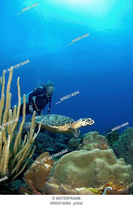 Hawksbill Sea Turtle and Diver, Eretmochelys imbricata, Caribbean Sea, Netherland Antilles, Curacao