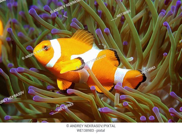 ocellaris clownfish, false percula clownfish or common clownfish (Amphiprion ocellaris) South China Sea, Redang, Malaysia, Asia