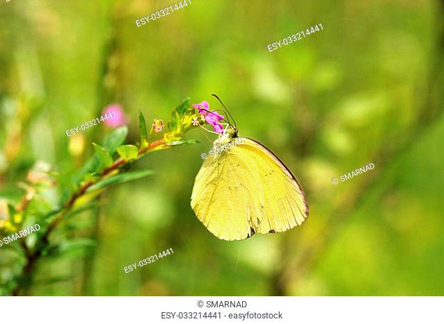 Large Grass Yellow or Common Grass Yellow (Eurema hecabe) butterfly on a flower searching for honey or nectar on a summer day