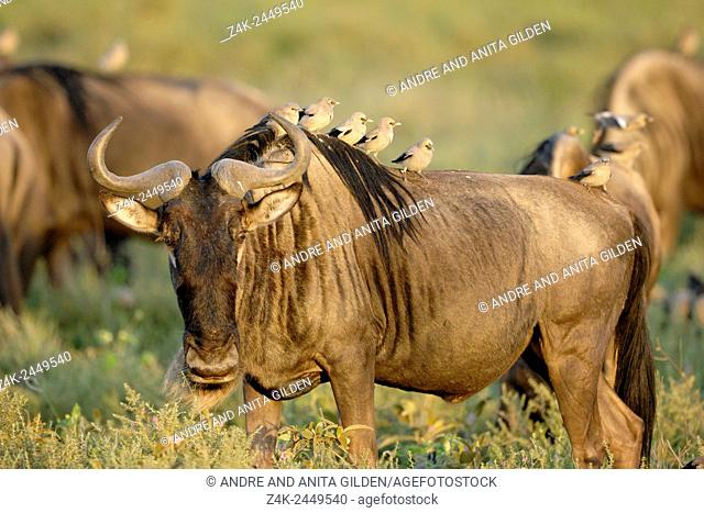 Blue Wildebeest ( Connochaetus taurinus) with Wattled starling (Creatophora cinerea) on their back, Southern plains, Serengeti national park, Tanzania
