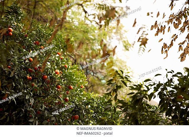 A citrus tree Spain