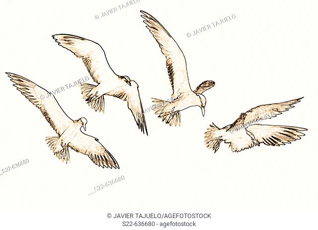 Gull-billed Tern (Sterna nilotica), sequence of the bird flying