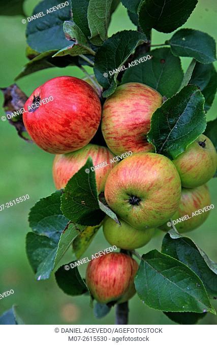 Cider apples in Asiegu village, Asturias, Spain, Europe