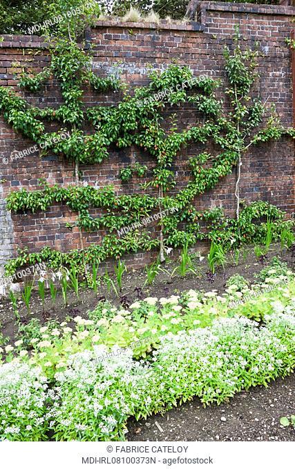 Plantes dans le jardin potager et arbres frutiers en espalier le long du mur en brique conservant la chaleur