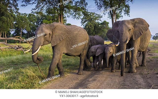 With babies surrounded by adult elephants, the herd moves into the forest in Masai Mara. Kenya