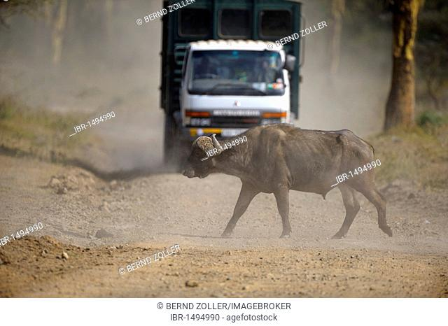 African buffalo (Syncerus caffer), bull crossing street of the park in front of oncoming vehicle, Lake Nakuru National Park, Kenya, East Africa, Africa