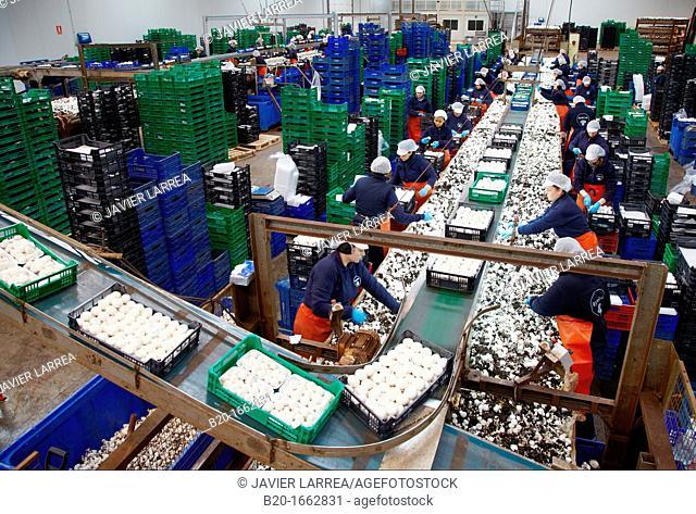 Mushrooms collection, Buttom mushroom, Agaricus bisporus, Agri-Food, Ayecue Fresh, Grupo Riberebro, Autol, La Rioja, Spain