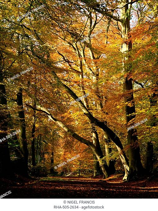Beech trees in autumn foliage in a National Trust wood at Ashridge, Buckinghamshire, England, United Kingdom, Europe