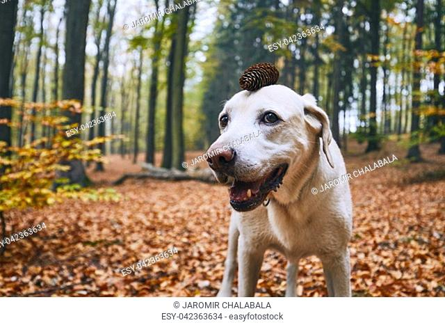 Dog in autumn forest. Funny portrait of labrador retriever with pine cone on head