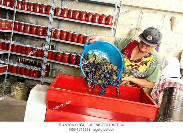 A farmer pour grapes in the tray of a motorized destemmer machine