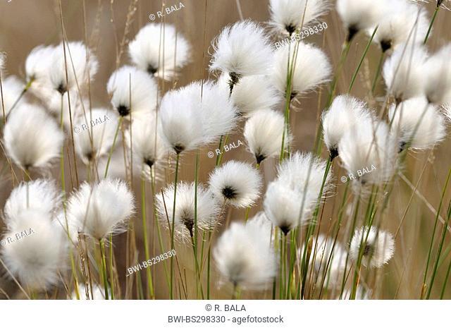 tussock cotton-grass, hare's-tail cottongrass (Eriophorum vaginatum), fruiting, Germany, North Rhine-Westphalia