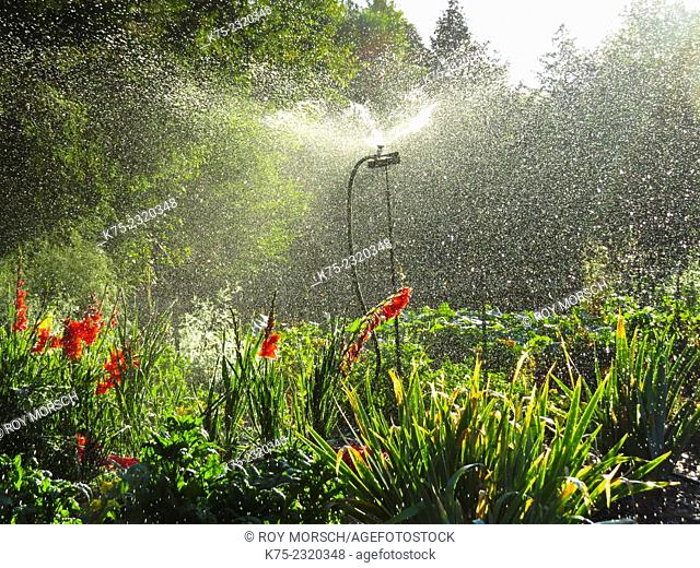 Gladiolus being watered by sprinkler in garden