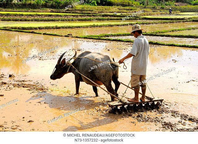 Vietnam, Quang Nam, the work of preparing rice paddies