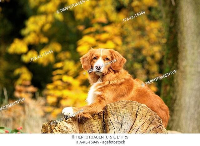 lying Nova Scotia Duck Tolling Retriever