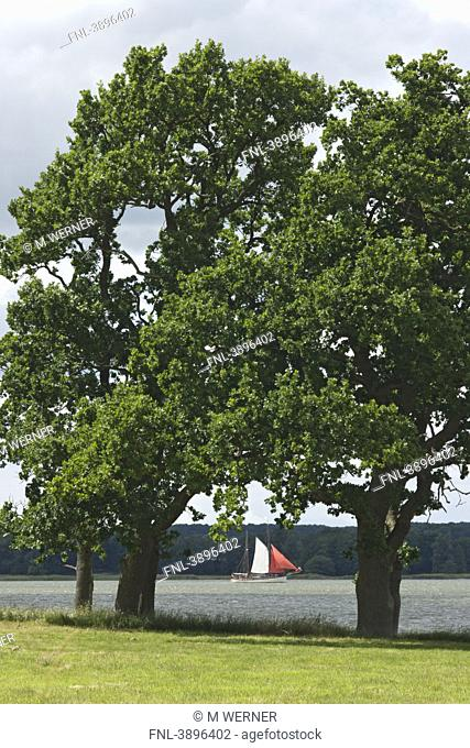 Oak trees and sailing ship, river Schlei, Schleswig-Holstein, Germany, Europe