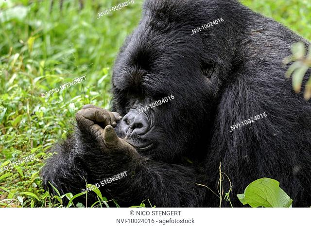 Silverback, Mountain Gorilla (Gorilla beringei beringei), Nyakagezi gorilla group, Mgahinga Gorilla National Park, Virunga Volcanoes, Kisoro, Uganda, Africa