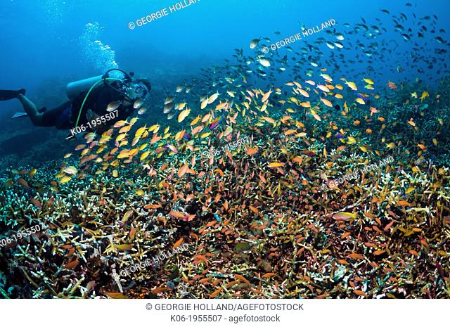 Diver watching coral reef with a large school of mixed Anthias. Indonesia