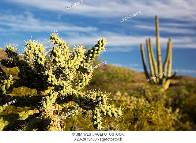 Tucson, Arizona - Cholla and saguaro cactus in the Cactus Forest in the Rincon Mountain District of Saguaro National Park